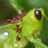 Grasshopper & Red Acari