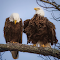 Bald-Eagle-Mating-Ritual.jpg