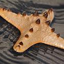 Horned Sea Star (four armed)
