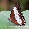 Pimplea Satyr Butterfly
