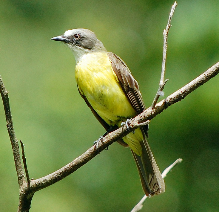 Sulfer-breasted tyrant flycatcher