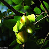 Starfruit, Balimbing