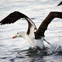 Albatross Live Wallpaper Pro