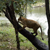 Indian Lions