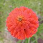 Torch Lily, Tritoma