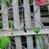 Anna's Hummingbird - ♀