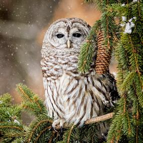 Barred Owel by Pat Eisenberger - Animals Birds (  )