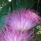 Mimosa - Silk Tree