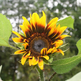 First sunflower by Dianne Collins - Flowers Single Flower
