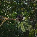 Black Vulture or Chulo