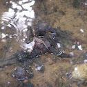 Dusty-gilled Mudskipper