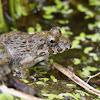 Japanese Wrinkled frog