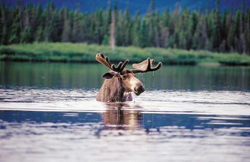 A moose takes a dip in the lake at Parc national de la Gaspesie, Quebec.