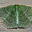 Wavy-lined Emerald
