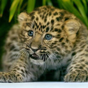 Im little but Im BBBAAADDD by Scott Bennett - Animals Lions, Tigers & Big Cats ( big cat, wildlife, growing, baby animals, cute, leopard,  )