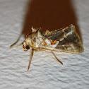 Polilla / Moth