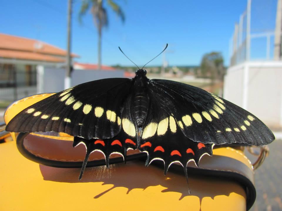 Borboleta rabo de andorinha Scamander Swallowtail