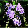 Golden Dewdrop Plant