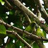Guaiabero Parrot