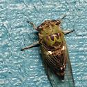 Silver-Bellied Cicada