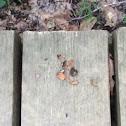 Nuts left behind by Eastern Chipmunk
