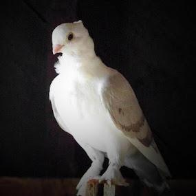 Vogue the pigeon by Cindy Swinehart - Animals Birds ( pigeon, bird, white, owl, asian, dove,  )