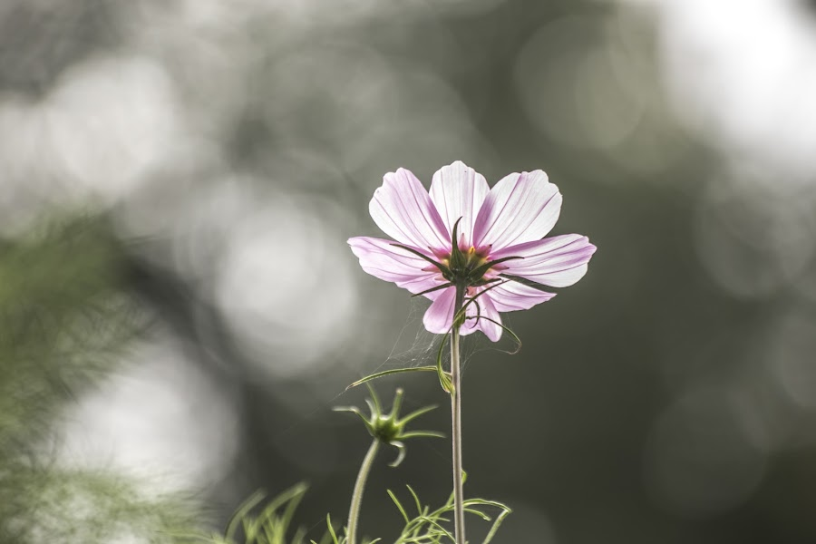 Just a flower in the sun by Patrick Quispel - Flowers Single Flower ( countryside, nature, outside, sun, flower )