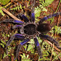 Giant Purple Tarantula