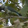 Malabar Parakeet  / Blue-winged Parakeet