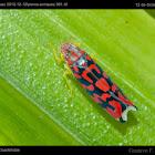 Fan leafhoper