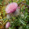 Indian Thistle