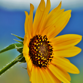 Sunflower by Denise Johnson - Flowers Single Flower ( plants, sunflower, yellow, flower,  )