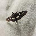 Grape leaffolder (moth)