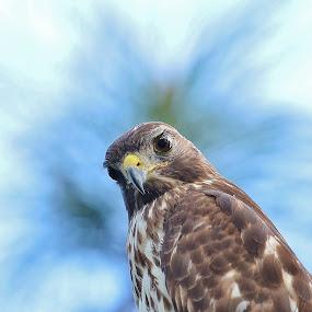 Hawk Eye by Bo Chambers - Animals Birds ( bird, wild, wildlife, portrait, eye, hawk )