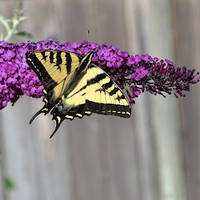 Caught In The Act by Ed Hanson - Animals Insects & Spiders ( butterfly, bush, yellow, black, flower )