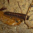Tractor millipede