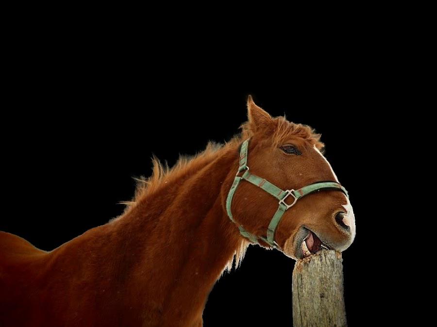 by Valérie Tremblay - Animals Horses