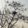 Korean Magpie Nests