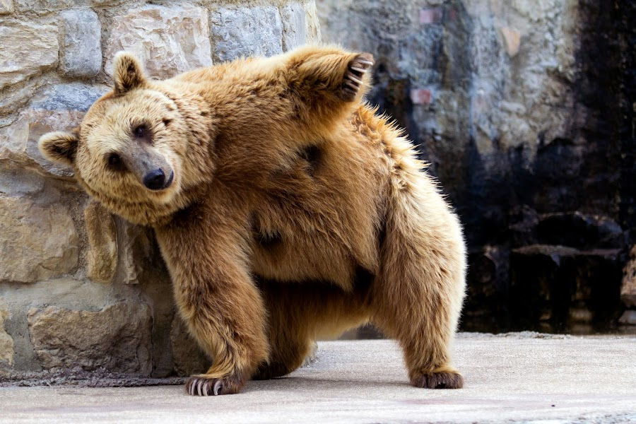 Little bit of itchy !!! by Kishu Keshu - Animals Other Mammals ( bear, wild, nature, lisbon, portugal )