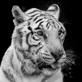 White Tiger by Cristobal Garciaferro Rubio - Black & White Animals