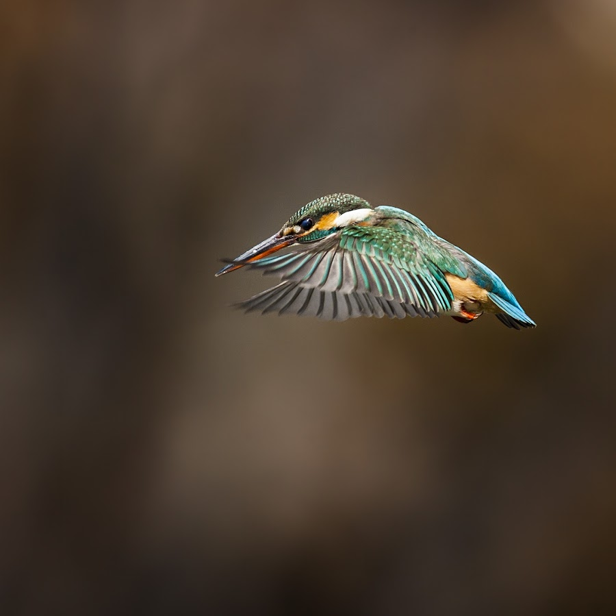 Common Kingfisher  by Đỗ Hùng - Animals Birds ( bird, great, beautiful, kingfisher, nice )