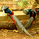 Lady Amherst's Pheasant (Male)