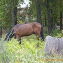 caballo(es), cabalo(gal)
