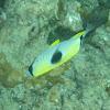 Teardrop Butterflyfish - lauhau