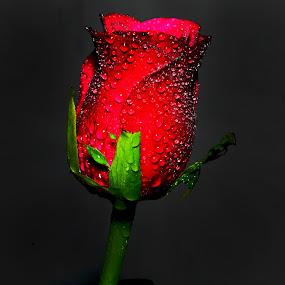 A beautifull Rose picture by Abhijeet Kumar - Flowers Single Flower