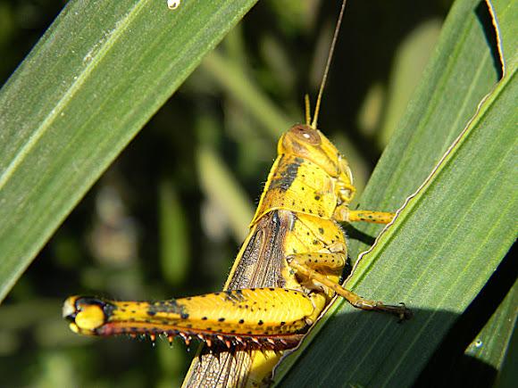 Javanese Grasshopper Belalang Kayu Belalang Kunyit Project Noah