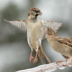 passer-sparrow-023.jpg