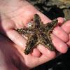 Sheriff-badge starfish