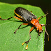 Fire-Colored Beetle