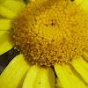 max chrysanthemum